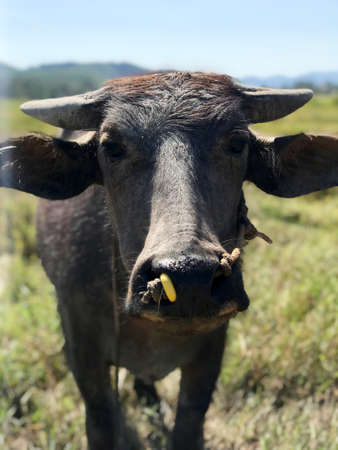 Closeup photo, portrait of Malaysian Water Buffalo with little horns, Langkawi, Malaysia. Wild life. Farm animals. 写真素材