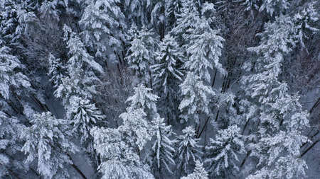 Aerial top view of winter snowy forest with fir-trees, pines, spruces in snow. Russia, Lapland. Christmas season. Beautiful texture with trees, wallpaper.