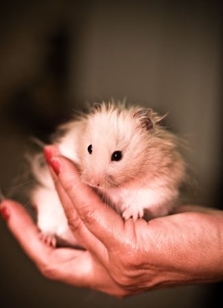 Pet hamster being held in a hand. Stock Photo