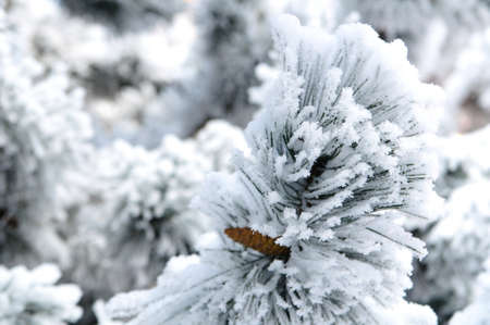 Snow Covered Fir Branches Closeup photo