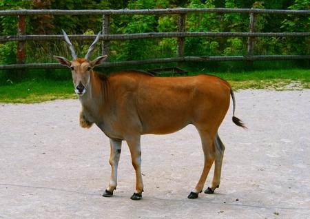 hoofed animals: zoo animals, Denmark Stock Photo