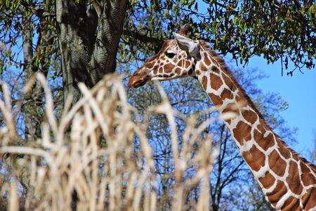 hoofed: giraffe in the park Stock Photo