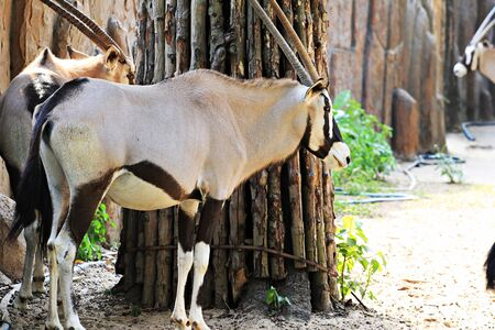 hoofed: zoo animals, Vietnam Stock Photo