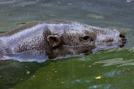 hippopotamus: hipopótamo