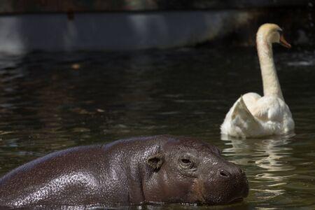 hippopotamus: natación hipopótamo