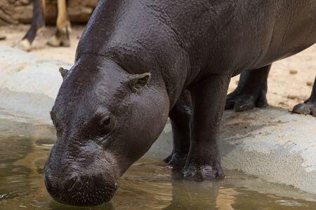 hippopotamus: hippopotamus Foto de archivo
