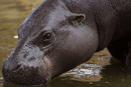 hippopotamus: hippopotamus Stock Photo