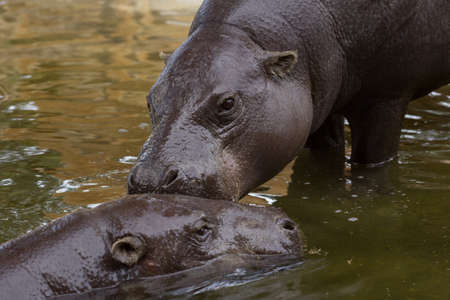 hoofed: hippopotamus Stock Photo