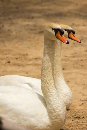 swans: Cisnes