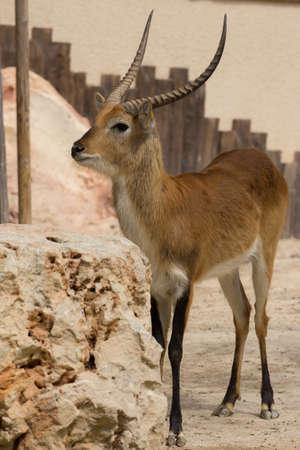 hoofed: deer
