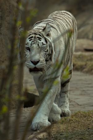 tiger albino in the park Stock Photo