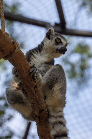 Ring-tailed lemur on the branch