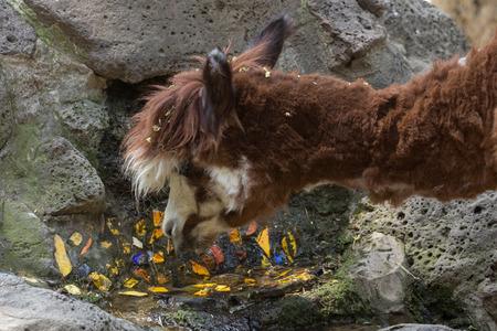 hoofed: alpaca drinking water Stock Photo