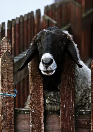 hoofed: sheeps head close-up over the fence in the park Stock Photo