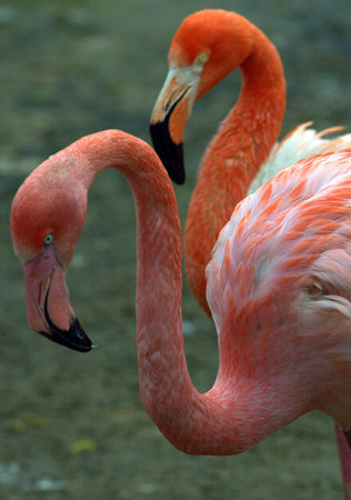 Pink and red flamingos on the pond Stock Photo