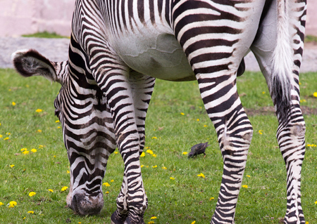 Imperial zebra on the field Stock Photo