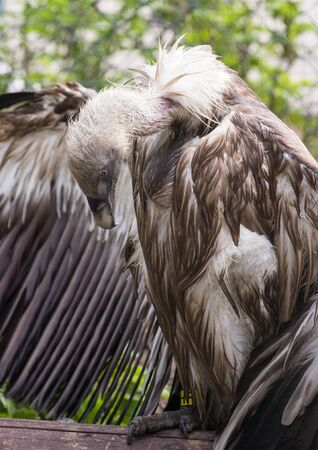 Griffon Vulture sitting on the wood perch with wings wide open and looking down Stock Photo