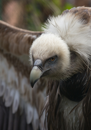 White plumage on the head of Griffon Vulture Stock Photo