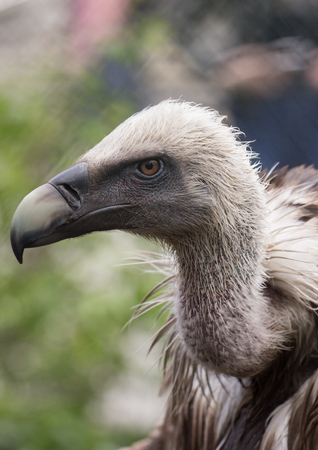 Close-up side view of Griffon Vulture