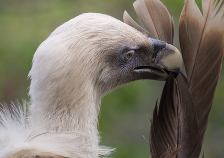 scavenger: Side view of head of Griffon Vulture preening feathers