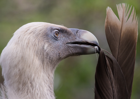 Side view of head of Griffon Vulture preening feathes