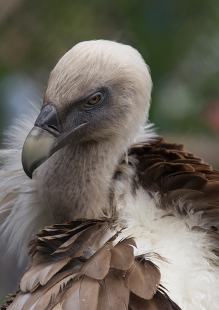 Head of Griffon Vulture close up Stock Photo