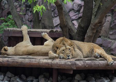 2 つ若い美しい男性と女性アジアのライオンの木の下で休憩をカバーします。