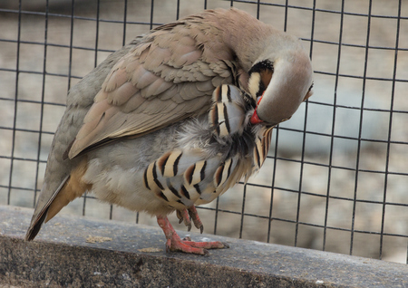 Chukar partridge standing on one leg next to the steel netting and preening