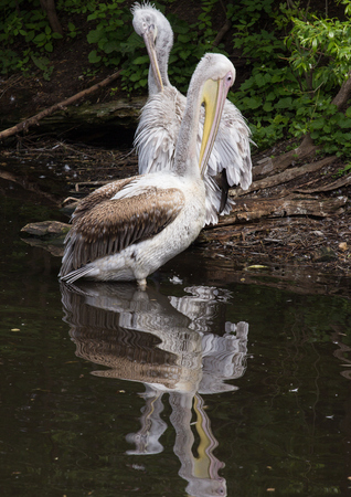 Two Great white pelicans standing in the water close to each other