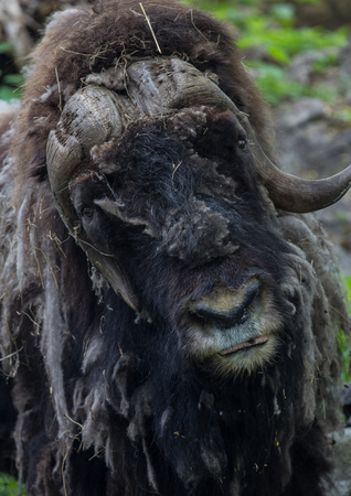introductions: Close-up of muskox head looking forward Stock Photo