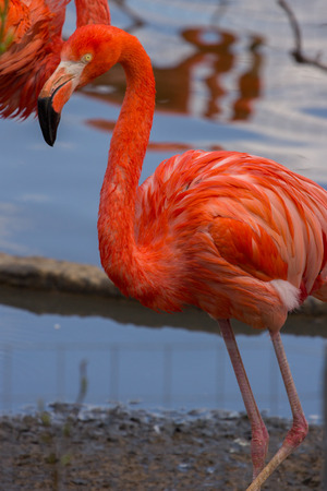 A single american flamingo walking on the pond, with water on background Banco de Imagens