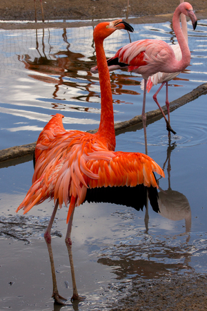 American flamingo with wings wide open and greater flamingo on background