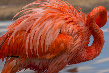 American flamingo cleaning its feathers. Birds standing in water.