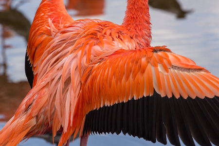 American flamingo with wings wide open Stock Photo
