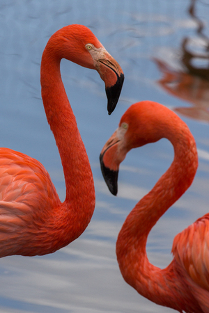 Couple of American flamingos With water in the background Imagens - 81183914
