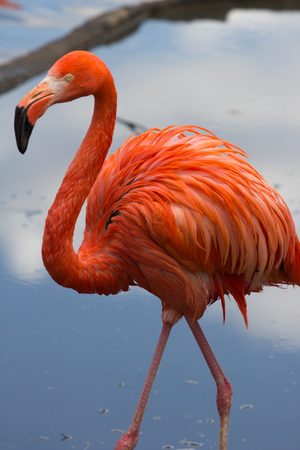American flamingo gracefully striding in still water reflecting skies
