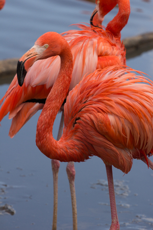Couple of american flamingos on the pond