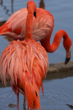 Birds of north america. Couple of American flamingos. Imagens
