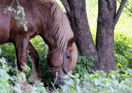 ungulate: Half-face portrait of a horse eating grass