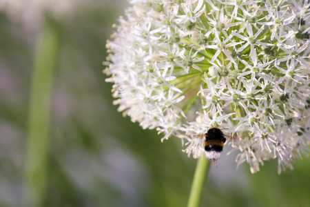 Bumble bee on the flowering garlic inflorescence in the garden Stock Photo