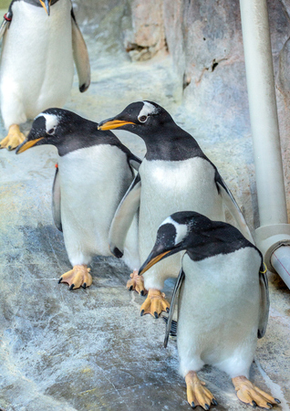 group of gentoo penguins on the rock cute animals closeup funny