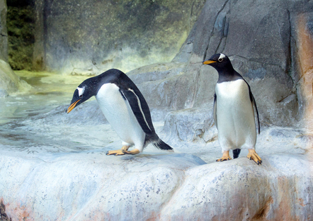 Two of Gentoo penguins on the rock. Cute animals closeup. Funny birds in the nature. Stock fotó