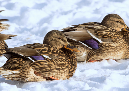 Females of the mallards on the snow. Birds on the pond in winter. Wild birds in the city.