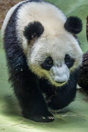 Portrait of giant panda walking around aviary, front view. Cute animals of China. Cute panda bear close up. Stockfoto