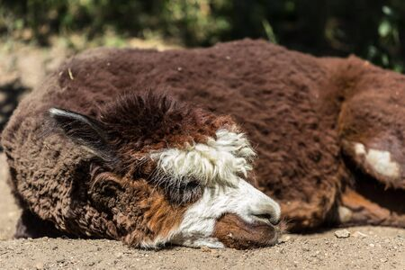 Brown alpaca lying on the sand. American animals in the zoo. Hoofed animals of America.