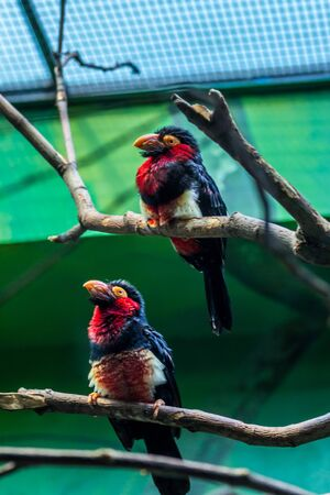 Couple of the bearded barbet on the branches. Tropical birds of Africa. 免版税图像