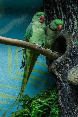 Couple of the rose-ringed parakeet (the ring-necked parakeet) sitting by the nest (hollow). Parrots of Africa and Asia.