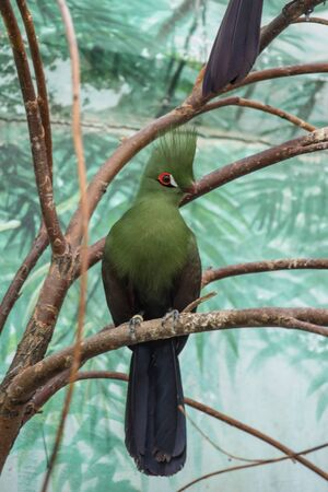 A single turaco on the branch. Beautiful birds of the world. African birds. Stock fotó