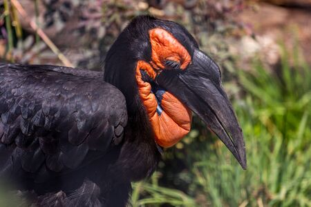 Portrait of the southern ground hornbill close up, side view. Beautiful and charming bird of the world. African savannas birds.