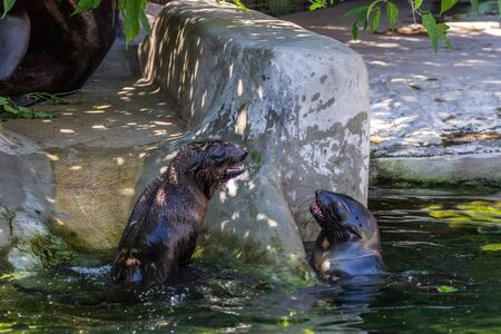 Two northern fur seals playing in the water. Animals of ocean and sea. Funny animals of the world.